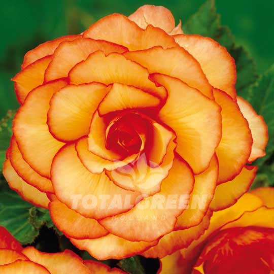 Begonias Double Camelia Orange Flower Bulbs