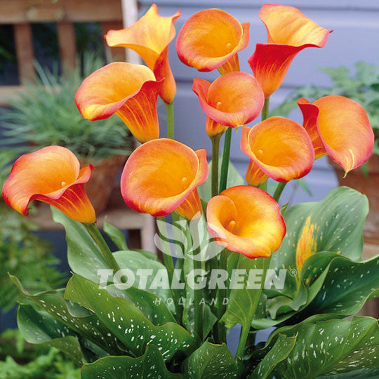 Calla (Zantedeschia) Orange