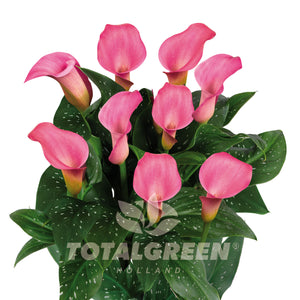 Calla Grow Kit