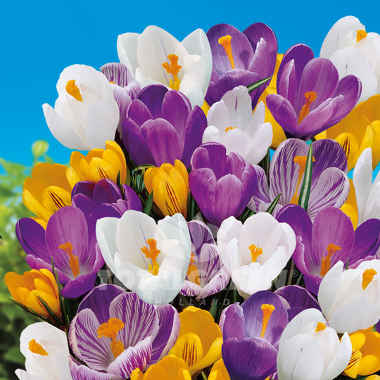 Crocus Specie Mixed