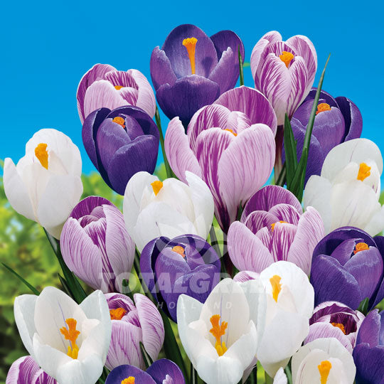 Crocus Blue / White / Purple Mixed