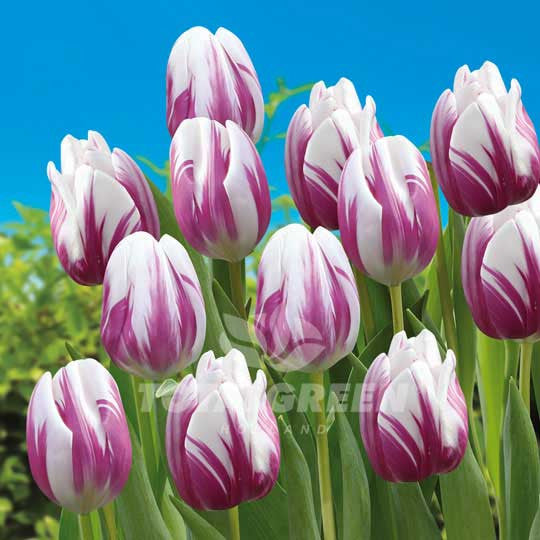 Tulips Triumph Flaming Flag