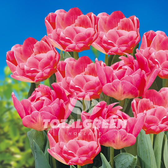 Tulips Double Late Pink