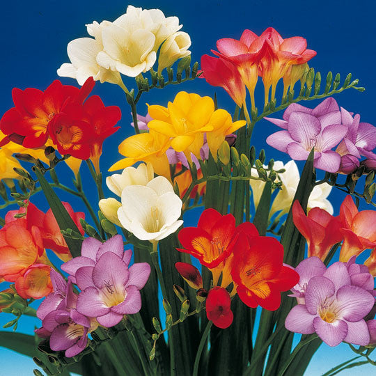 Freesia Single Mixed Flower Bulbs