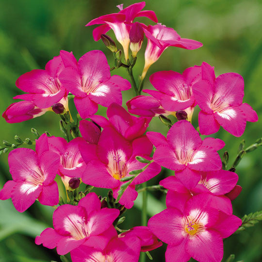 Freesia single gardening information by totalgreen holland freesia single flower bulbs mightylinksfo