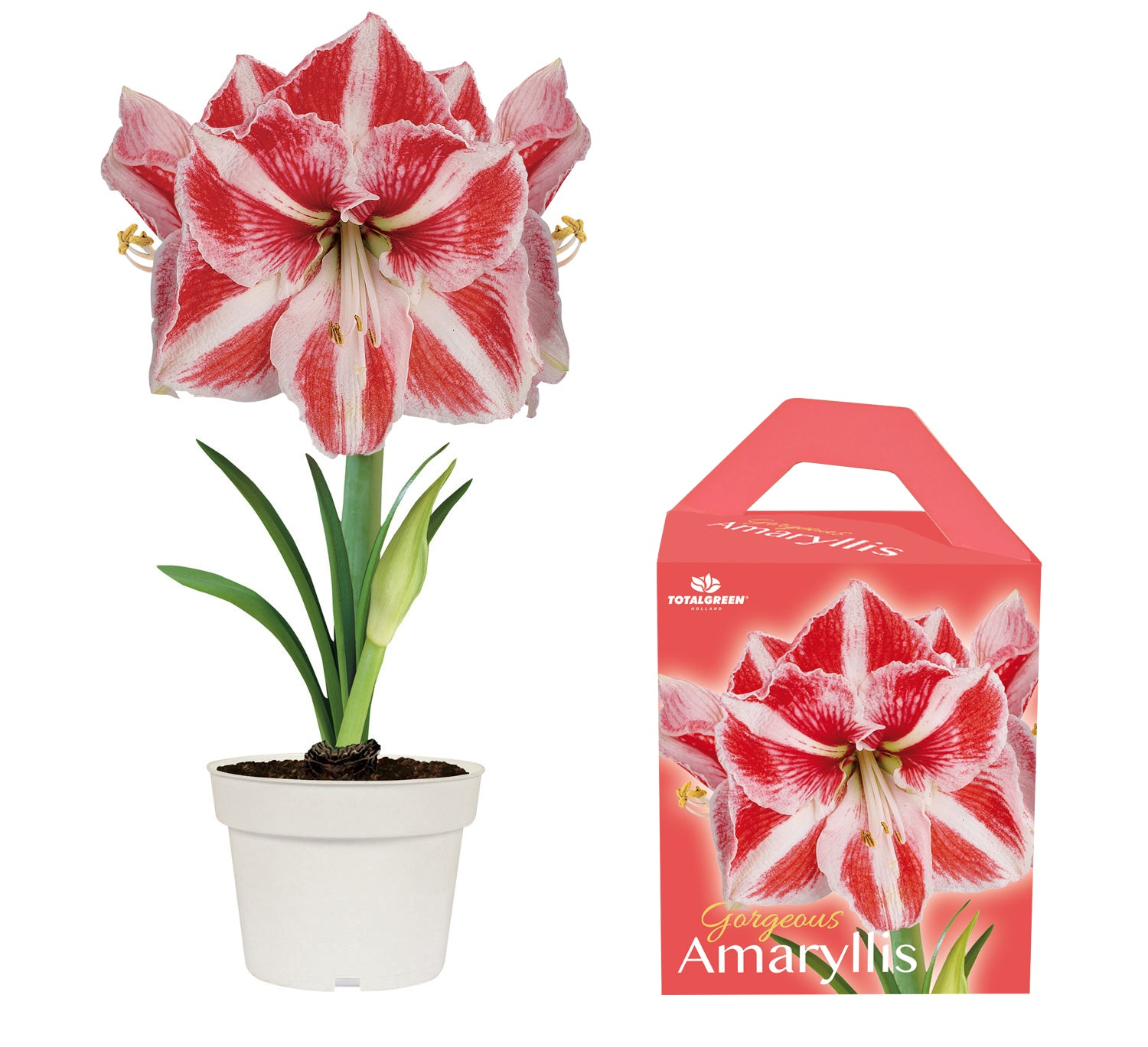 Unique Amaryllis Grow Kit Striped - Amazon