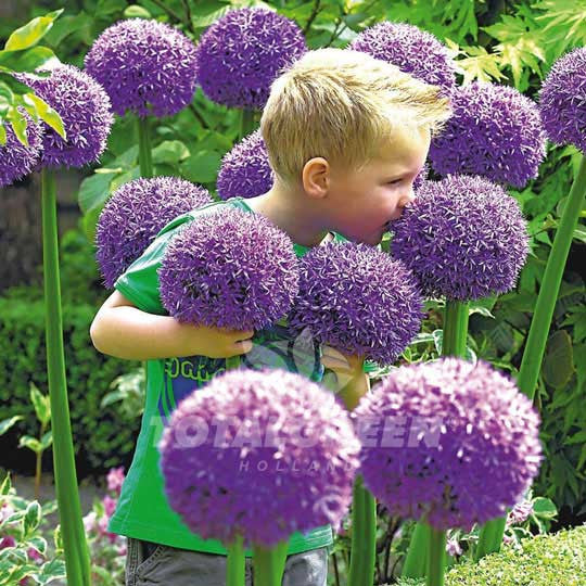 Alliums Gladiator Flower Bulbs