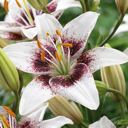 Hardy Lilies White Pixels Flower Bulbs