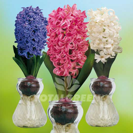 Hyacinths On Glass Planting Information Totalgreen Holland