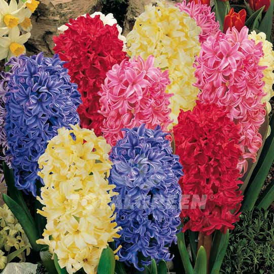 Hyacinths Mixed Flower Bulbs
