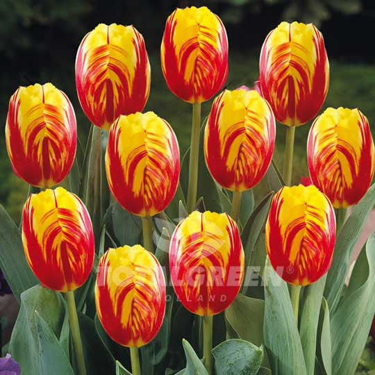 Tulips Triumph Red Yellow