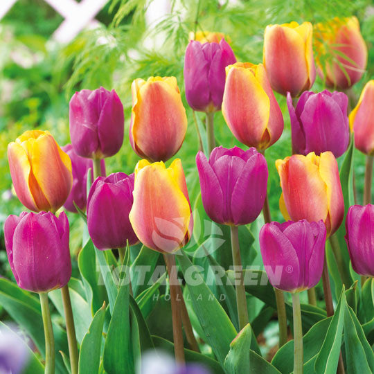 Tulips Collection Indian Summer Mix Flower Bulbs