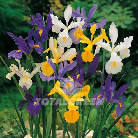 Dutch Iris Hollandica Mixed Flower Bulbs