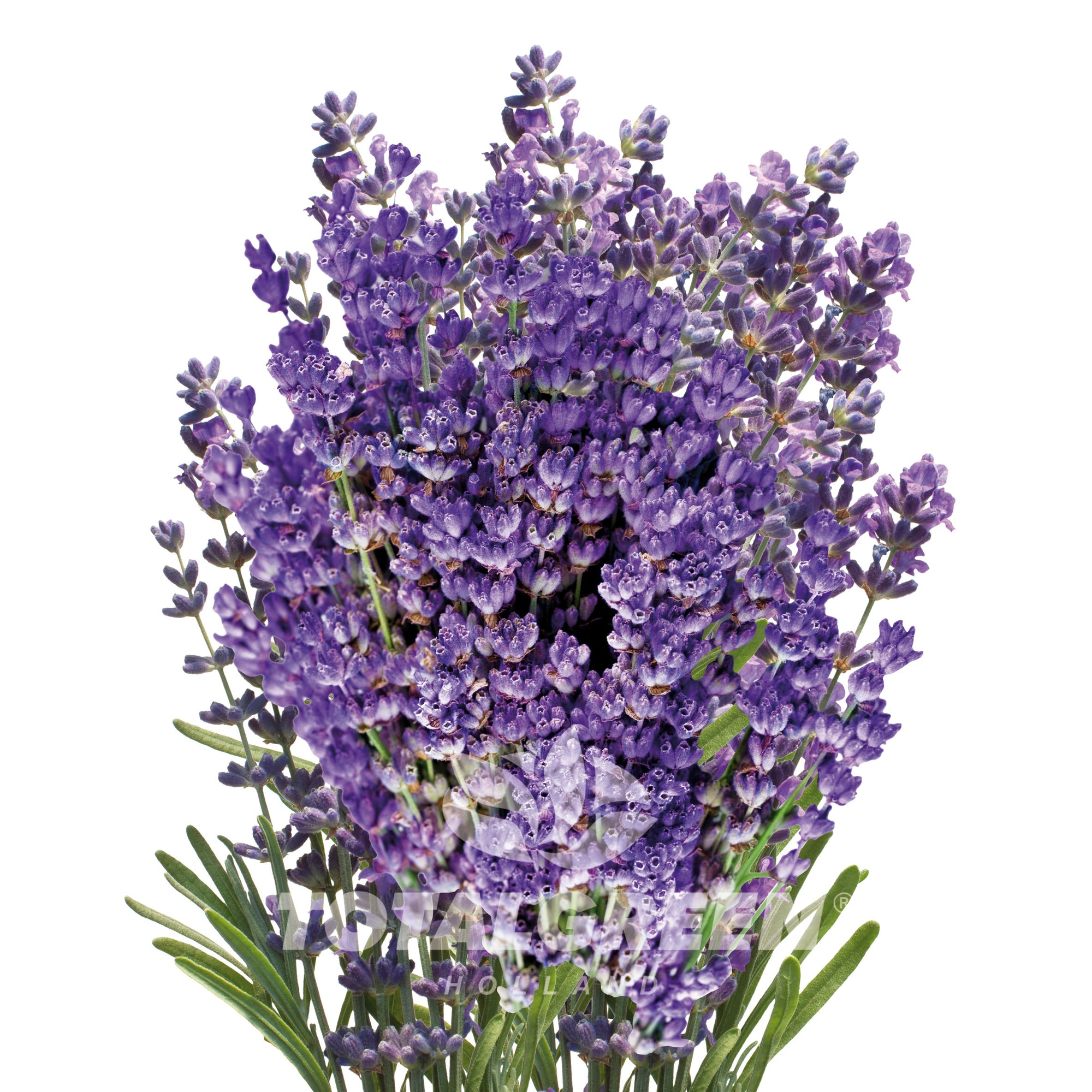 Lavender Grow Kit in Pot