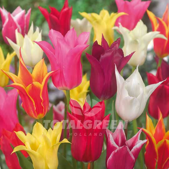 Tulips Lily Flowering Mixed