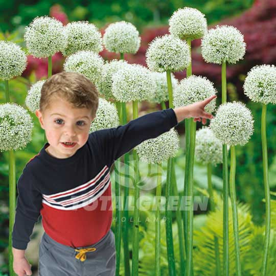 Allium Mont Blanc Flower Bulbs