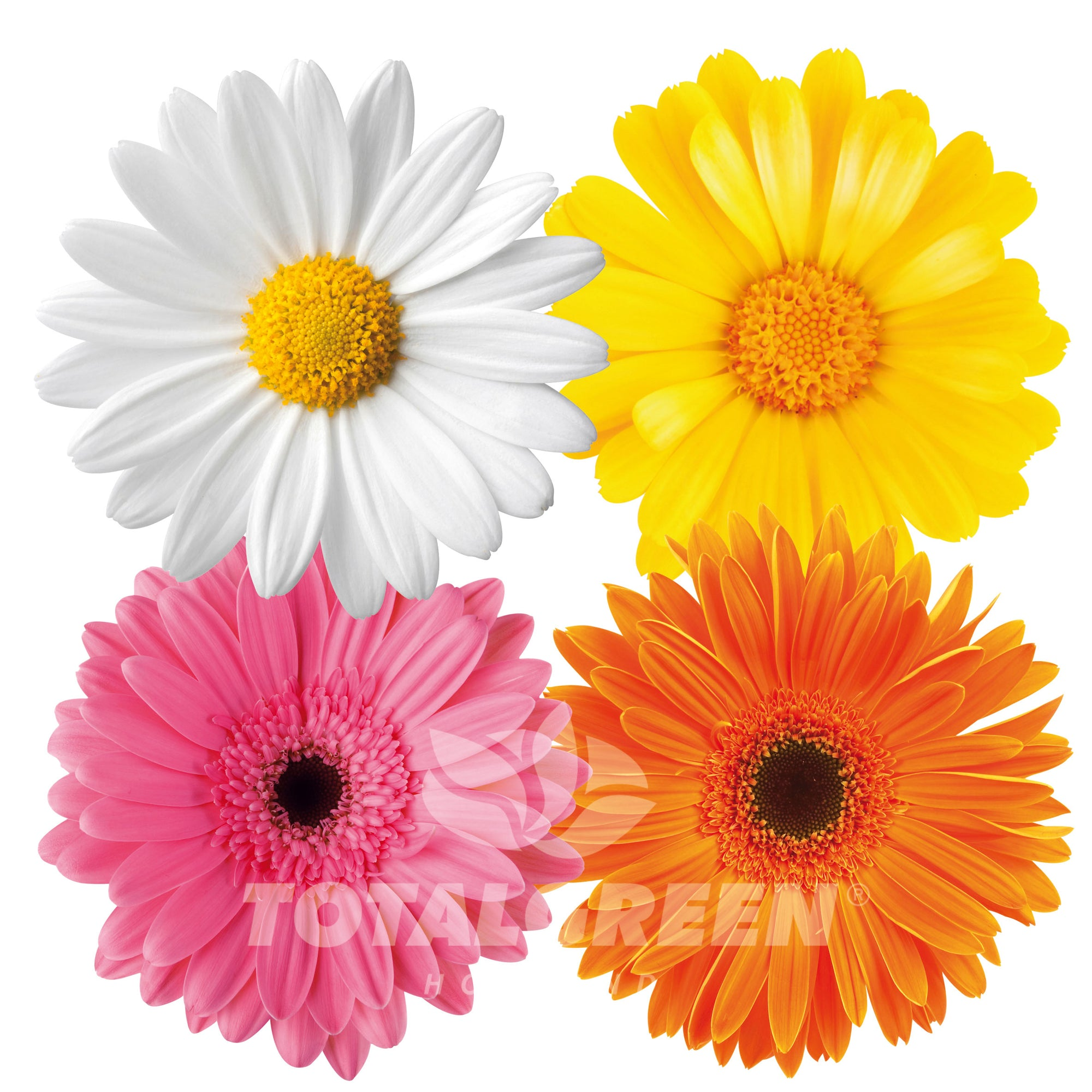 Daisy Grow Kits Mothers Day