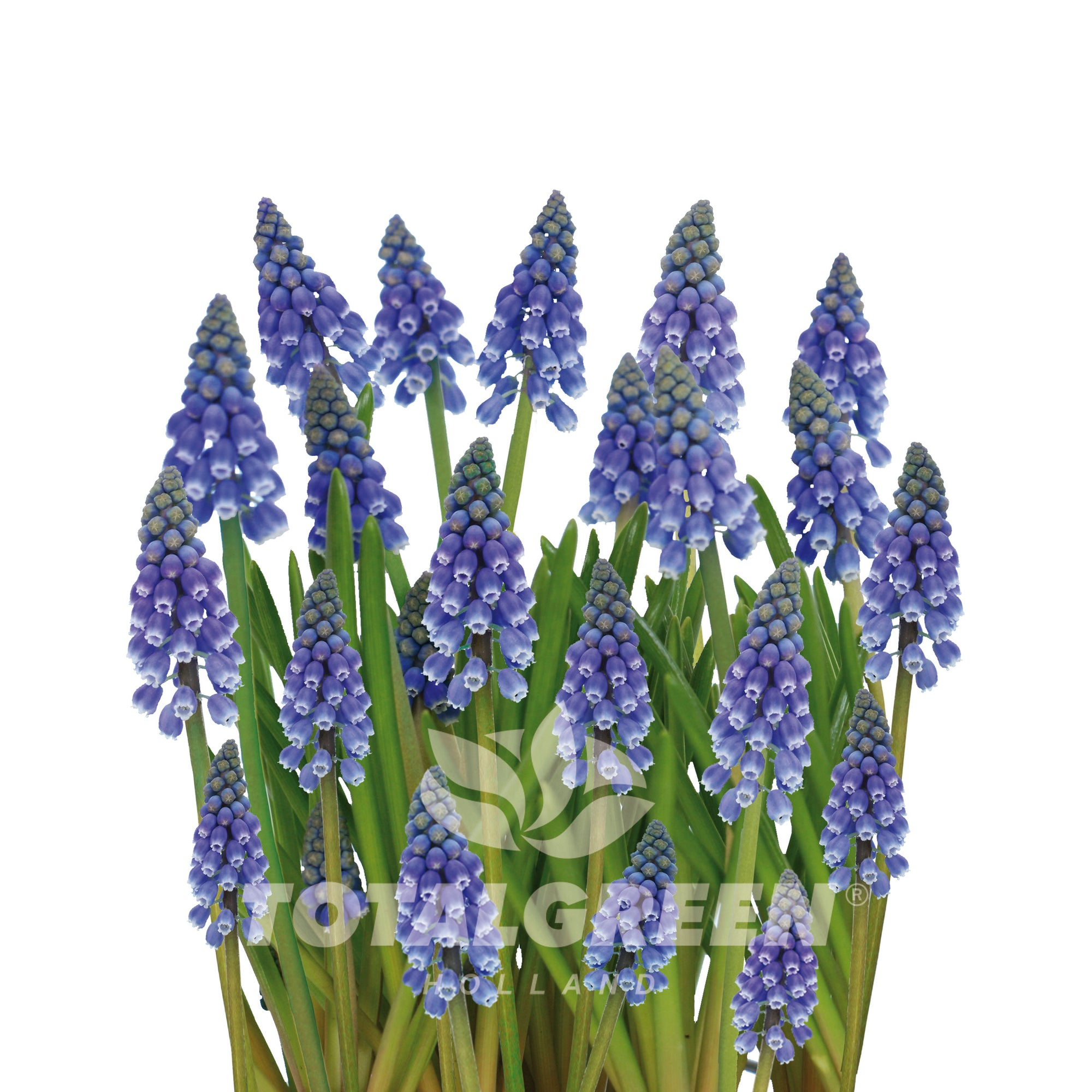 Muscari Grow Kit Luxe