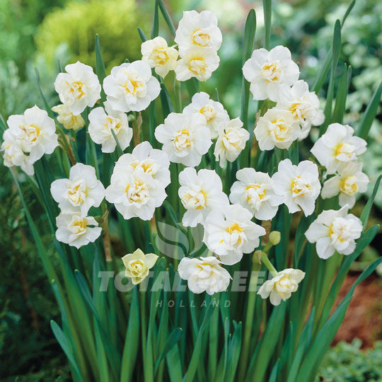 Daffodil double white plant information totalgreen holland daffodil double white flower bulbs mightylinksfo