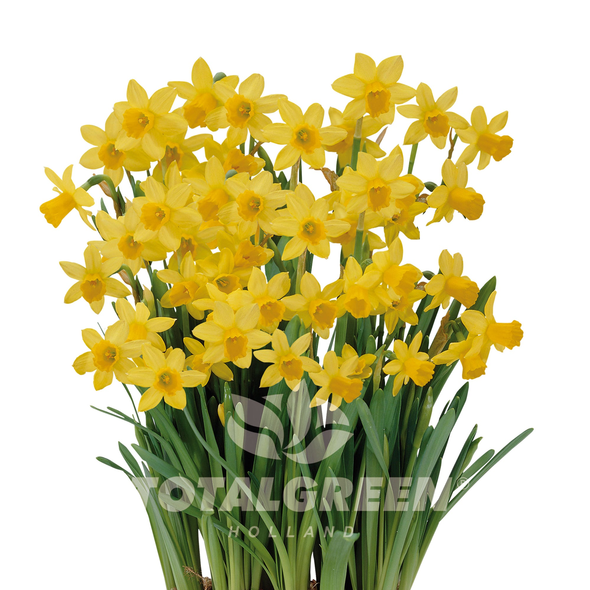 Narcissi Grow Kit Luxe