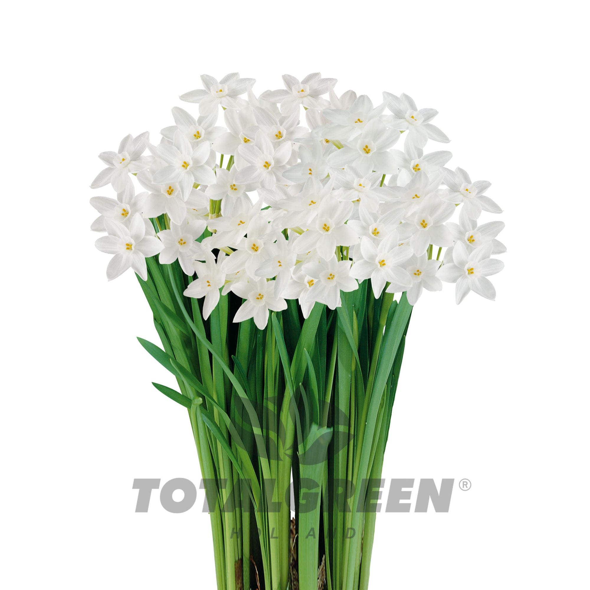 Narcissi Paperwhites Grow Kit
