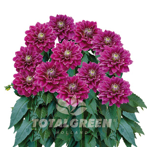 Patio Dahlia Grow Kit Terracotta or Basalt