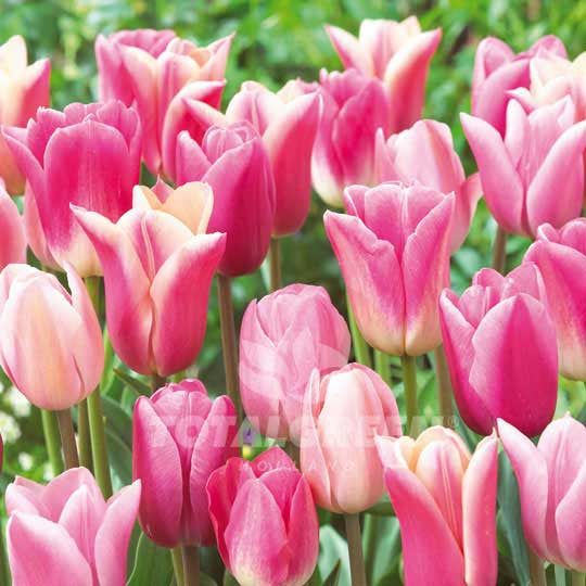 Tulips Collection Pink Inspiration
