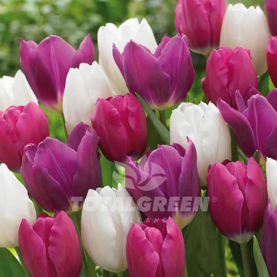 Tulips Collection Pink White Purple