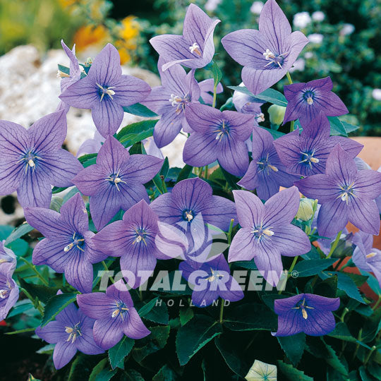 Balloon Flower Platycodon