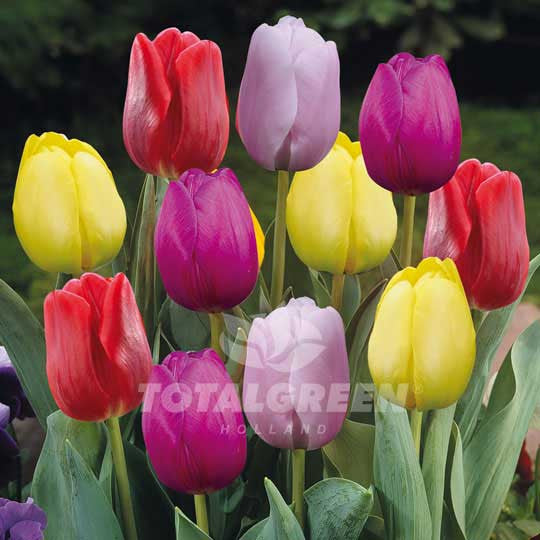 Tulips Triumph Prince Mixed