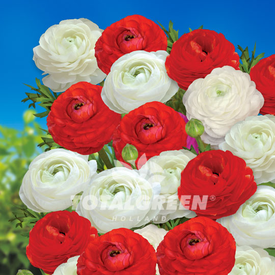 Buttercups Ranunculus Red/White Mix Summer Flowering