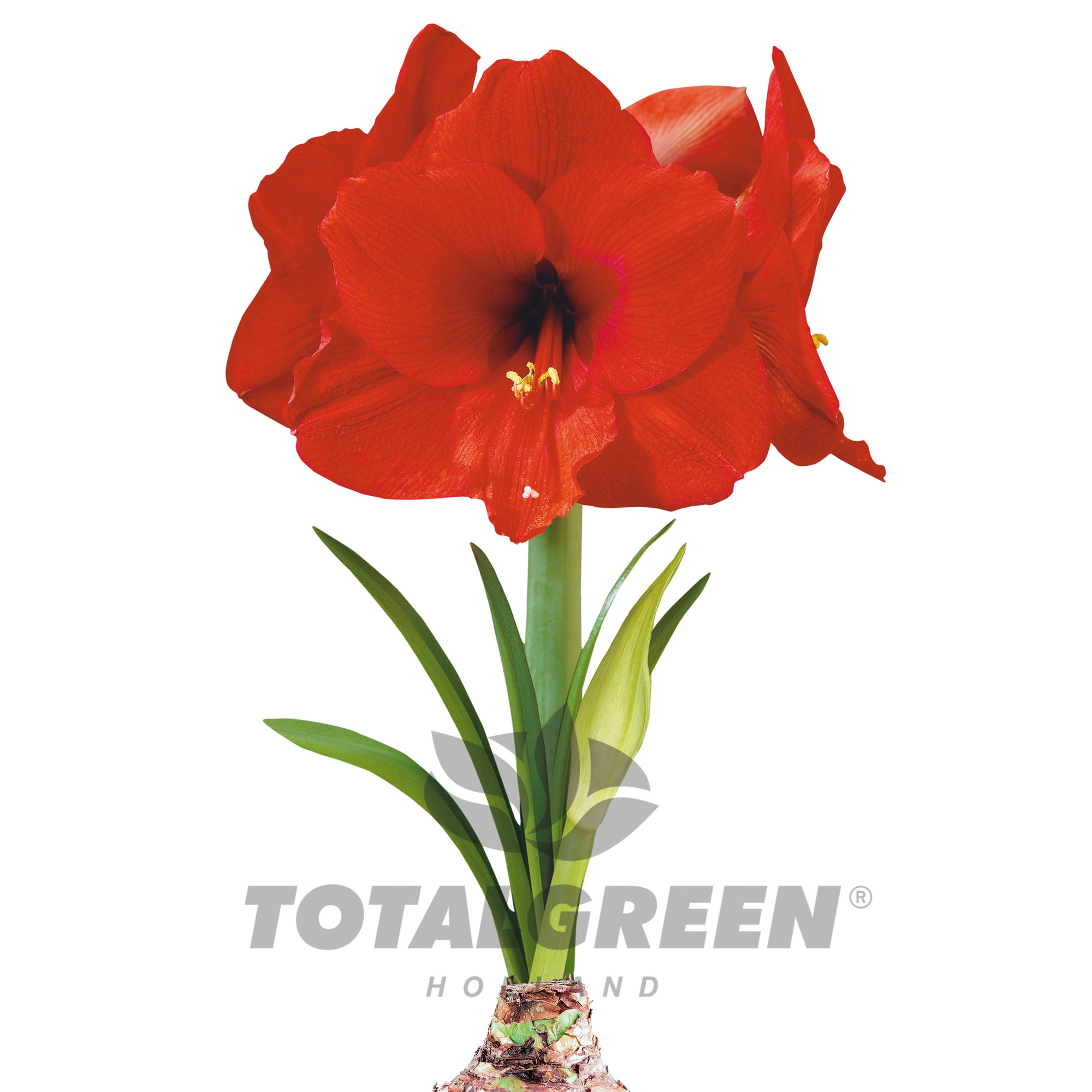 Amaryllis Grow Kit