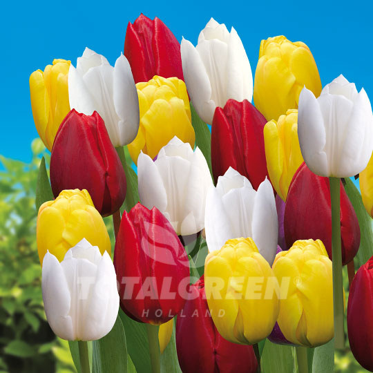 Tulips Triumph Red Yellow White