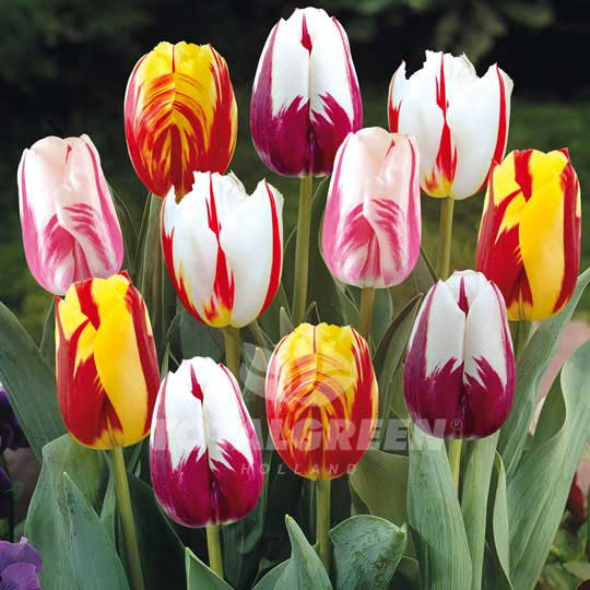 Tulips Triumph Rembrandt Mixed