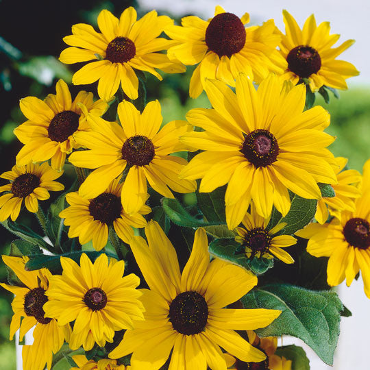 Rudbeckia Black Eyed Susan Flower Bulbs