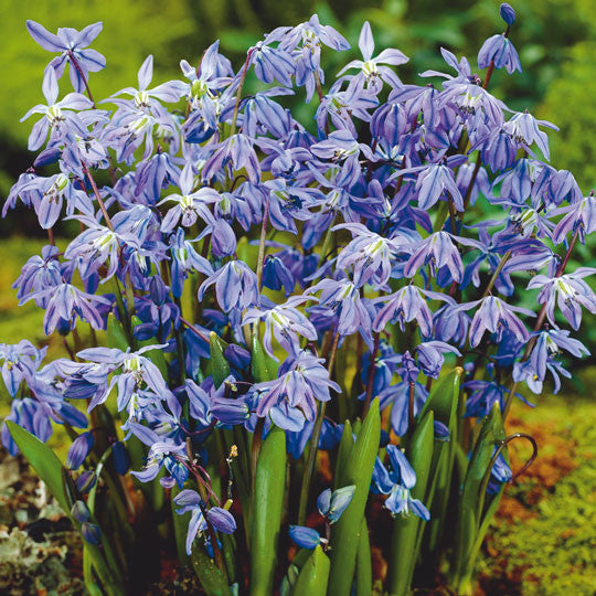 Scilla Siberica Flower Bulbs