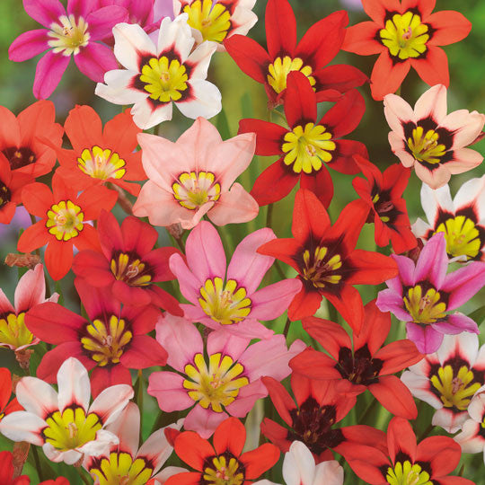 Wand Flowers Sparaxis Flower Bulbs