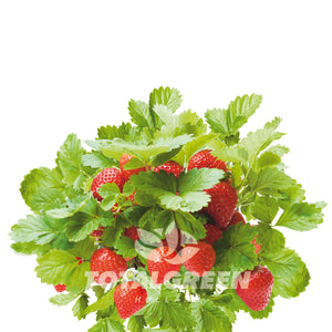 Strawberry Grow Kit in Pot