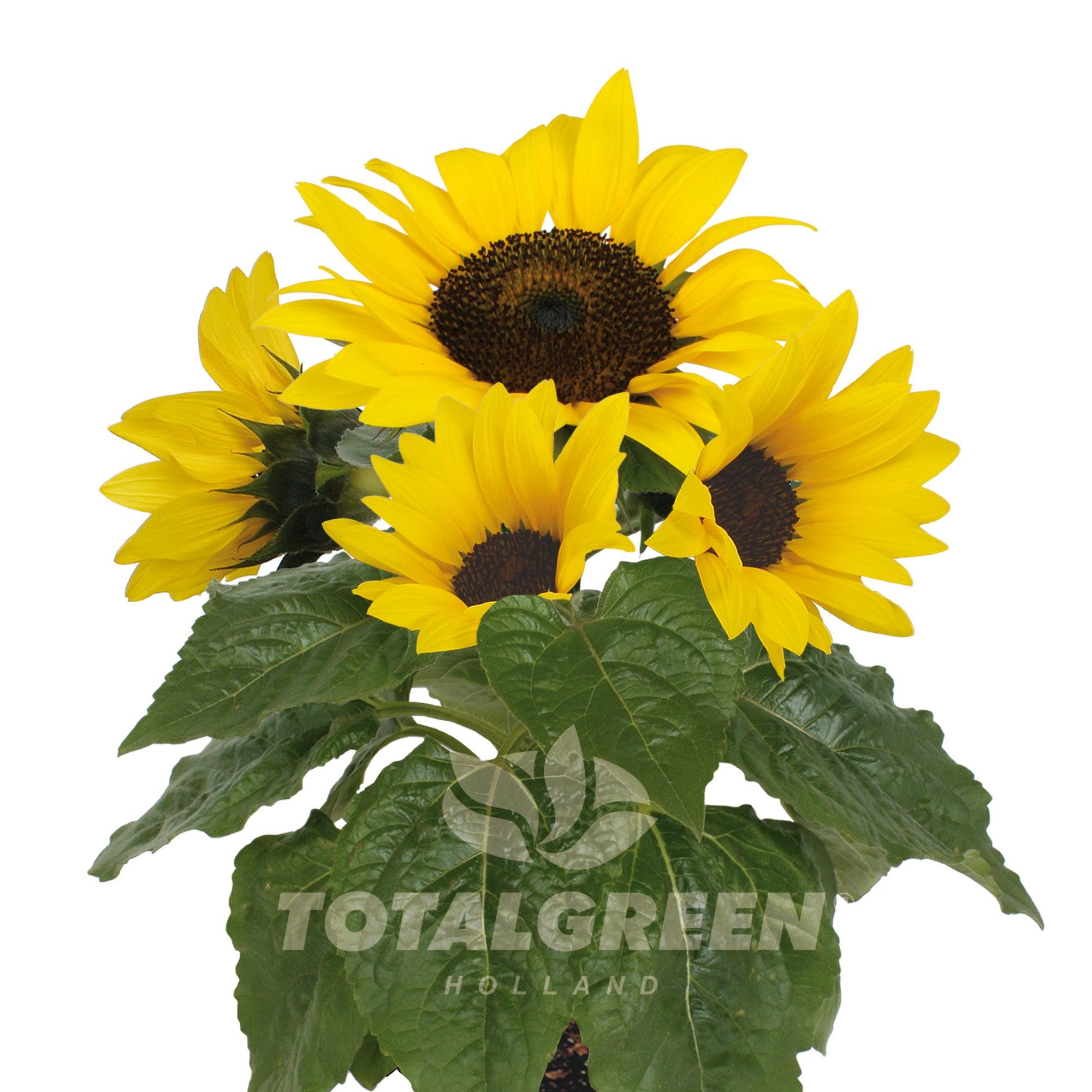 Sunflower Grow Kit in Pot