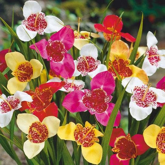Mexican Shellflower Tigridia Mixed Flower Bulbs