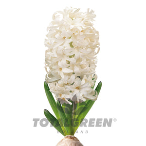 Hyacinth Grow Kit