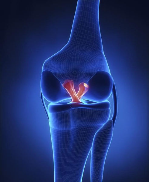 The ACL binds the thigh to the shin bone, connecting the two behind the kneecap.