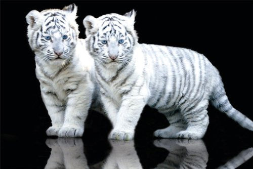 NAT90006 White Tiger Cubs 24X36