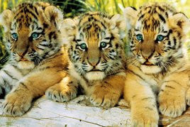 NAT90037 - Tiger Cubs 24x36