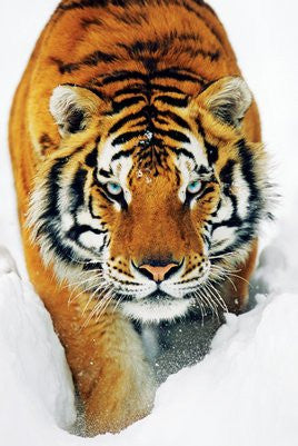 NAT90043 - Tiger in Snow 24x36