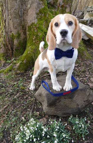 (Balmoral) Harris Tweed Bow Tie  Dog Collar & Lead Set - Blue (with Gold Look Buckle & Brass Findings) - BOWZOS