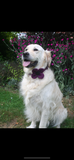 (Caledonian) Harris Tweed Flower Dog Collar - Dark Purple - BOWZOS