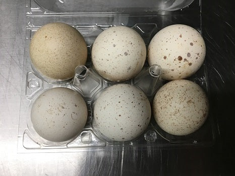 Beltsville small white turkey hatching eggs