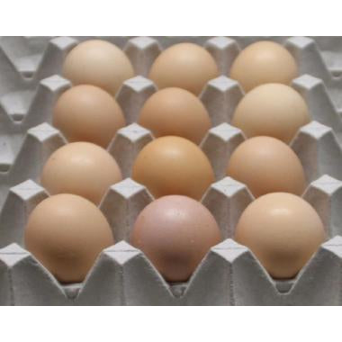Delaware chicken hatching eggs
