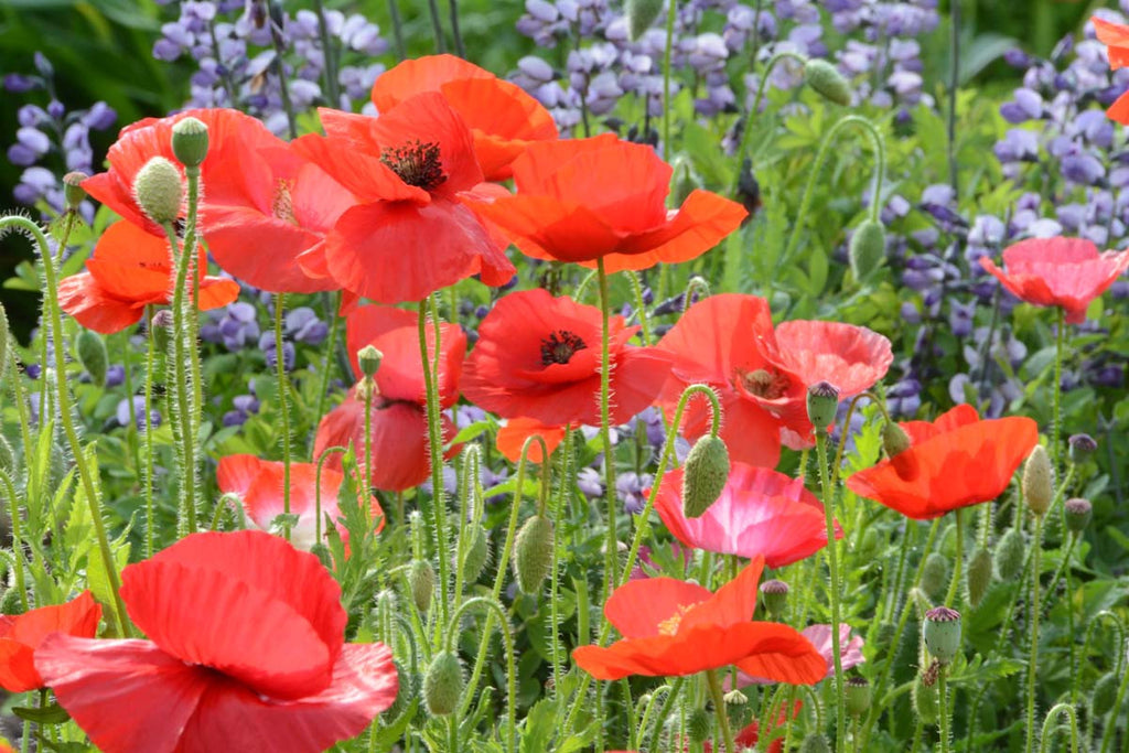 Growing Colorful Poppies In The Garden